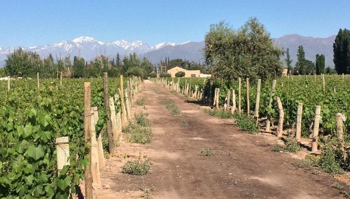 Mendel Winery Vines