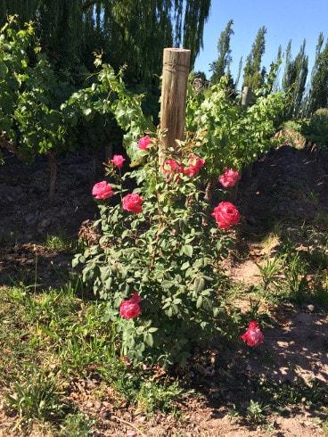 Rose bushes vineyards